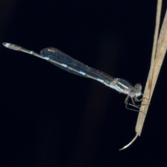 Austrolestes leda (Wandering Ringtail) at Googong, NSW - 12 Aug 2021 by WHall