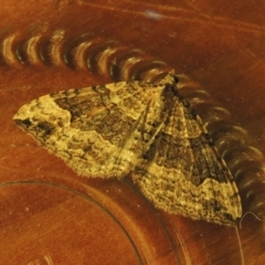 Epyaxa subidaria (Subidaria Moth) at Conder, ACT - 19 Jun 2021 by michaelb