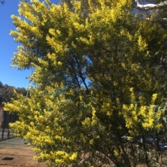Acacia rubida (Red-leaved Wattle) at Acton, ACT - 13 Aug 2021 by Ned_Johnston