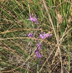Hovea heterophylla (Common Hovea) at Acton, ACT - 13 Aug 2021 by Ned_Johnston