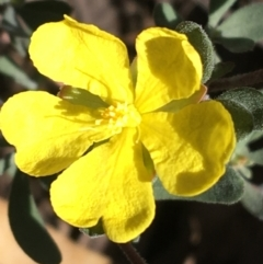 Hibbertia obtusifolia (Grey Guinea-flower) at Acton, ACT - 13 Aug 2021 by Ned_Johnston