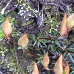 Unidentified Moss / Liverwort / Hornwort (TBC) at Downer, ACT - 13 Aug 2021 by Ned_Johnston