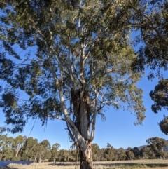 Eucalyptus viminalis (Ribbon Gum) at Kambah, ACT - 13 Aug 2021 by HelenCross