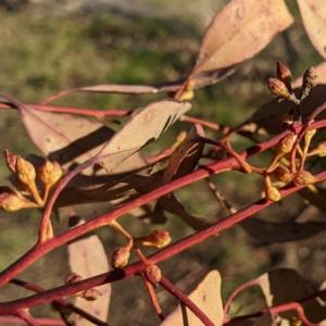 Eucalyptus viminalis at suppressed - 13 Aug 2021