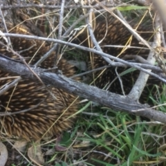 Tachyglossus aculeatus (Short-beaked Echidna) at Deakin, ACT - 13 Aug 2021 by KL