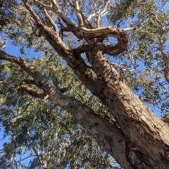 Eucalyptus melliodora (Yellow Box) at Kambah, ACT - 13 Aug 2021 by HelenCross