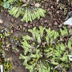 Fossombronia sp. (genus) (A leafy liverwort) at Watson, ACT - 13 Aug 2021 by JaneR