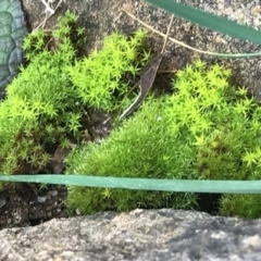 Unidentified Moss / Liverwort / Hornwort (TBC) at Garran, ACT - 8 Aug 2021 by Tapirlord