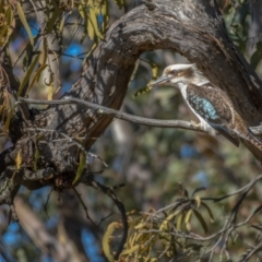 Dacelo novaeguineae (Laughing Kookaburra) at Paddys River, ACT - 12 Aug 2021 by trevsci