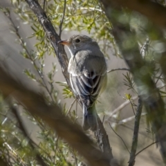 Pachycephala rufiventris (Rufous Whistler) at Paddys River, ACT - 12 Aug 2021 by trevsci