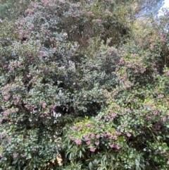 Syzygium smithii (Lilly Pilly) at Robertson, NSW - 17 Jul 2021 by KarenG