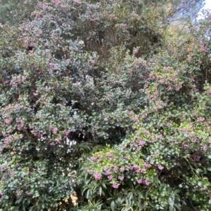Syzygium smithii (Lilly Pilly) at Robertson, NSW by KarenG