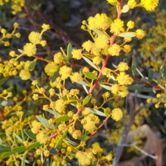 Acacia buxifolia subsp. buxifolia (Box-leaf Wattle) at Holt, ACT - 8 Aug 2021 by drakes