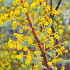 Acacia buxifolia subsp. buxifolia (Box-leaf Wattle) at Denman Prospect, ACT - 14 Aug 2021 by AaronClausen