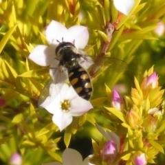 Melangyna viridiceps (TBC) at Macarthur, ACT - 14 Aug 2021 by RodDeb