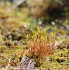 Unidentified Moss / Liverwort / Hornwort (TBC) at Gundaroo, NSW - 14 Aug 2021 by Gunyijan
