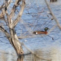 Anas castanea (Chestnut Teal) at Jacka, ACT - 12 Aug 2021 by SimoneC