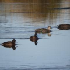 Anas superciliosa (Pacific Black Duck) at Murrumbateman, NSW - 14 Aug 2021 by SimoneC