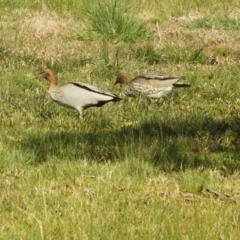 Chenonetta jubata (Australian Wood Duck) at Murrumbateman, NSW - 14 Aug 2021 by SimoneC