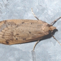 Oecophoridae (family) (Unidentified Oecophorid concealer moth) at Stirling, ACT - 13 Aug 2021 by Harrisi