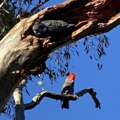 Callocephalon fimbriatum (Gang-gang Cockatoo) at Point One - 14 Aug 2021 by KL