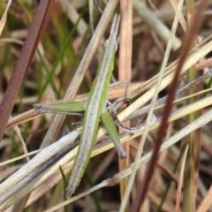 Keyacris scurra (Key's Matchstick Grasshopper) at Kambah, ACT - 15 Aug 2021 by HelenCross