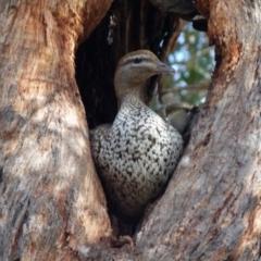 Chenonetta jubata (Australian Wood Duck) at Queanbeyan West, NSW - 14 Aug 2021 by Paul4K
