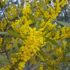 Acacia rubida (Red-leaved Wattle) at Penrose, NSW - 15 Aug 2021 by Aussiegall