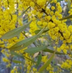 Acacia rubida at Penrose, NSW - 15 Aug 2021