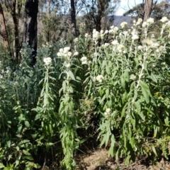Coronidium elatum subsp. elatum (Tall Everlasting) at Penrose, NSW - 15 Aug 2021 by Aussiegall