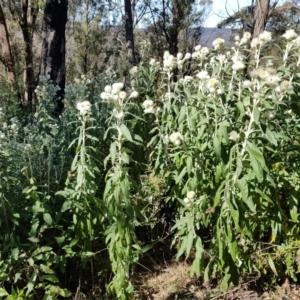 Coronidium elatum subsp. elatum (Tall Everlasting) at Penrose, NSW by Aussiegall