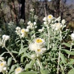 Coronidium elatum subsp. elatum at Penrose, NSW - 15 Aug 2021