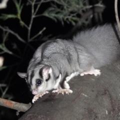 Petaurus norfolcensis (Squirrel Glider) at Splitters Creek, NSW - 6 Aug 2021 by WingsToWander