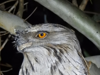 Podargus strigoides (Tawny Frogmouth) at Splitters Creek, NSW - 7 Aug 2021 by WingsToWander