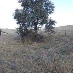 Themeda triandra (Kangaroo Grass) at Kambah, ACT - 15 Aug 2021 by HelenCross