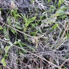 Chrysocephalum apiculatum (Common Everlasting) at Kambah, ACT - 15 Aug 2021 by HelenCross