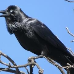 Corvus coronoides (Australian Raven) at Narrabundah, ACT - 15 Aug 2021 by RobParnell