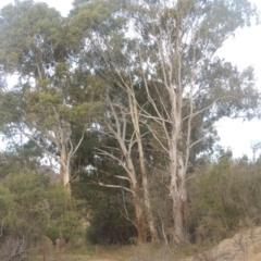 Eucalyptus viminalis (Ribbon Gum) at Tennent, ACT - 7 Jul 2021 by michaelb