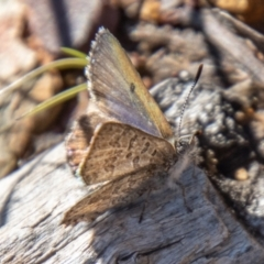 Paralucia spinifera (Bathurst or Purple Copper Butterfly) at suppressed - 12 Aug 2021 by SWishart