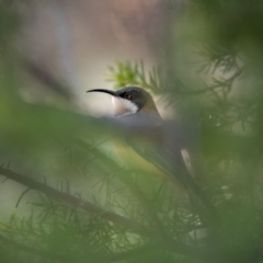Acanthorhynchus tenuirostris (Eastern Spinebill) at Stromlo, ACT - 11 Aug 2021 by trevsci