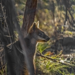 Wallabia bicolor (Swamp Wallaby) at Kambah, ACT - 10 Aug 2021 by trevsci