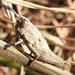 Apotropis tricarinata (Eastern striped grasshopper) at Kambah, ACT - 16 Aug 2021 by HelenCross