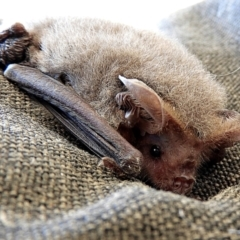 Nyctophilus geoffroyi (Lesser Long-eared Bat) at Crooked Corner, NSW - 15 Aug 2021 by Milly