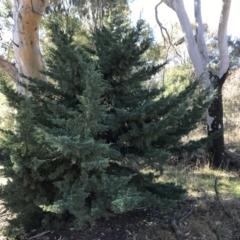 Cupressus arizonica (Arizona Cypress) at Deakin, ACT - 13 Aug 2021 by Tapirlord