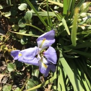 Iris unguicularis at Deakin, ACT - 13 Aug 2021