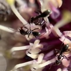 Iridomyrmex rufoniger (Tufted Tyrant Ant) at Murrumbateman, NSW - 17 Aug 2021 by SimoneC