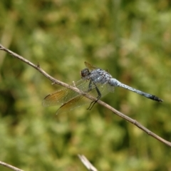 Unidentified Dragonfly (Anisoptera) (TBC) at suppressed - 24 Jan 2008 by Harrisi