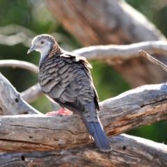 Geopelia humeralis (Bar-shouldered Dove) at Tottenham, NSW - 17 Sep 2008 by Harrisi
