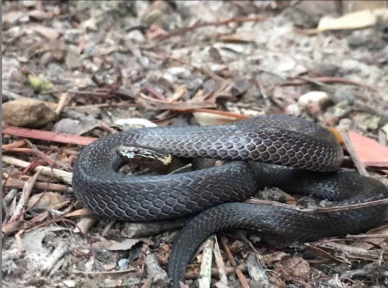 Cacophis krefftii at Kincumber, NSW - 19 Aug 2021