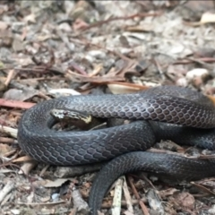 Cacophis krefftii (Dwarf Crowned Snake) at Kincumber, NSW - 18 Aug 2021 by BrianHerps